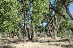 cottonwood trees at Rio Grande Nature Center State Park #RGNC #abq #bosque