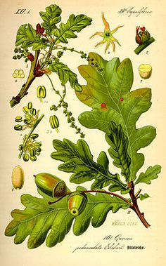 Oak - Vintage Botanical Illustration - Stieleiche (Quercus robur), Illustration