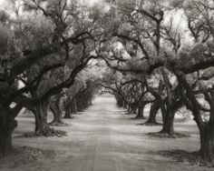 Avenue of Oaks by Beth Moon