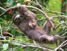 One day I will go volunteer a the Sloth Sanctuary of Costa Rica. Super cute animals :)