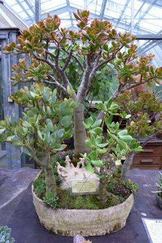 Jade Bonsai, Bonsai Art, Indoor Bonsai Tree, Indoor Plants, Succulent Terrarium, Succulents Garden, Jade Tree, Outdoor Greenhouse, Crassula Ovata