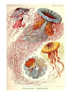 Jelly Fish Art Print by Ernst Haeckel at Art.com