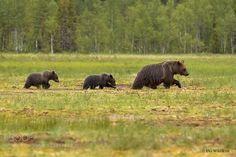 In the Swamp - Pinned by Mak Khalaf Animals animalanimalsbearbrownbrown bearcubsswampwildlife by dgwildlife