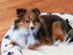 Pomeranian sheltie mix - The Universe of animals