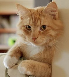 Love ginger kitties ~ such a sweet face