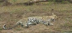 11-16-15 A sleeping Queen...Karula on #safarilive