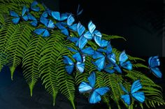 Blue morpho butterfly replicas photographed on a beautiful fern Morpho Butterfly, Blue Butterfly, Butterfly Wings, Morpho Bleu, Blue Morpho, Art Papillon, Most Beautiful Butterfly, Beautiful Life, Flying Flowers
