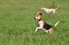 English Foxhound Puppies Leap from playful puppy to English Foxhound, The Fox And The Hound, Mans Best Friend, Puppy Love, Corgi, Puppies, Animals, Corgis, Cubs
