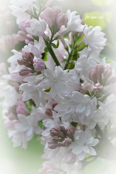 Sweet Romantic Notions: Beauty Of Moscow Lilac
