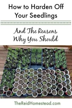 How to Harden Off Your Seedlings (a must do step before planting in the garden!)