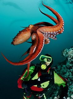 Diving with Giant Pacific Octopus, British Columbia
