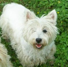 Lorraine is an adoptable West Highland White Terrier Westie Dog in Owasso, OK. Meet Miss Lorraine, a lovely Westie girl recently retired from making beautiful Westie babies. She's visually challenged ...