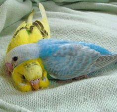 - (via Budgerigar Gallery - Detail View - parakeets. Funny Birds, Cute Birds, Pretty Birds, Beautiful Birds, Animals Beautiful, Animals And Pets, Baby Animals, Funny Animals, Cute Animals