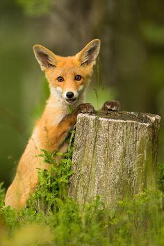 Fox - null