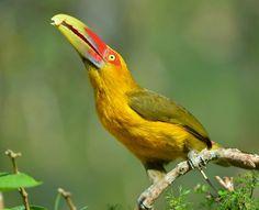 Foto araçari-banana (Pteroglossus bailloni) por Kurazo Okada | Wiki Aves - A Enciclopédia das Aves do Brasil