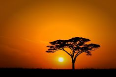 The begining of a new day on the Serengeti plains with one lonely acacia tree silhouetted against the rising sun.