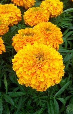 Marigold mosquito repellant