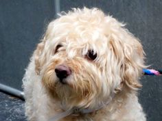 TO BE DESTROYED 9/11/14 Manhattan Center ***NEW PHOTO*** My name is CHESTER. My Animal ID # is A1013247. I am a male buff and cream poodle min and shih tzu mix. The shelter thinks I am about 6 YEARS old. I came in the shelter as a OWNER SUR on 09/06/2014 from NY 11103, owner surrender reason stated was MOVE2PRIVA. MOST RECENT MEDICAL INFORMATION AND WEIGHT 09/09/2014 Exam Type VACCINATE - Medical Rating is 1 - NORMAL , Behavior Rating is NONE, Weight 25.0 LBS. 09/07/2014 PET PROFILE MEMO Animal Shelter, Animal Rescue, Shih Tzu Mix, Dog Safety, Types Of Animals, Medical Information, Its A Wonderful Life, My Animal, Beautiful Babies