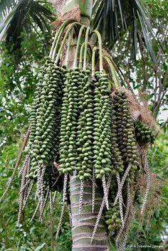 Fruits of Kentia Palm Tree (Howea forsteriana)