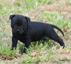 Staffy puppy