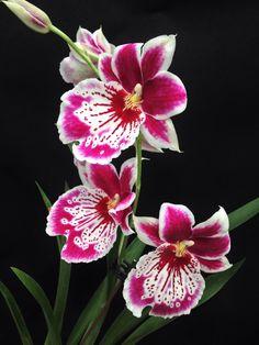 Orchid: Miltoniopsis Martin Orenstein 'Shirley P' (Eros x Violet) - Flickr - Photo Sharing!
