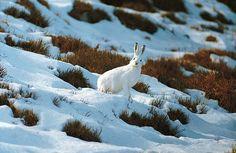 #White #rabbit on the #snow. #Oasi #Zegna #Winter, #Italy. www.oasizegna.com