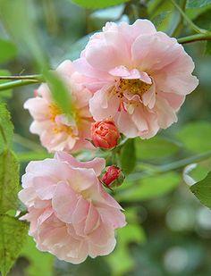 Hybrid Musk Shrub Rose: Rosa 'Cornelia' (U.K., 1925)
