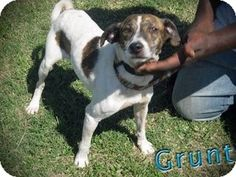 Elmsford, NY - Hound (Unknown Type) Mix. Meet Grunt a Dog for Adoption.