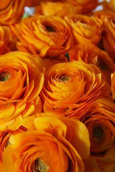 Rannuculus! Flowers Nature, Diy Flowers, Beautiful Flowers, Wedding Flowers, Color Of The Week, Orange Wedding, Spray Roses, Ranunculus, Peonies