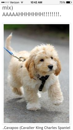 I. Need. A. Cavapoo. Not even kidding they stay this small and cute  #hypoallergenic