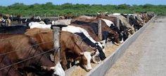 Dieta para engorda de ganado Bovino – Agroanuncios