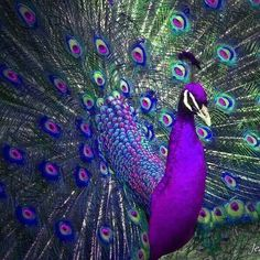 I think peacocks are so beautiful. Even more so if they were this color.