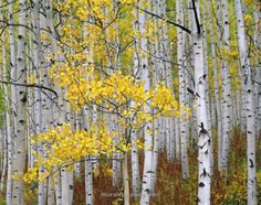 1000 images about trees on pinterest tree murals for Aspen wall mural