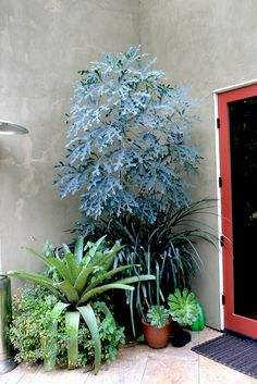 Cussonia paniculata in a pot, with equally bold Vreisea platynema v. variegata in front. Plants as sculpture -