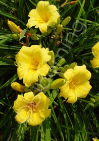 Stella D' Oro Daylily -- Small golden-yellow daylilies bloom continuously most of the season. Fresh green, grassy leaves add contrast. An all-time winner as the most popular Daylily ever.