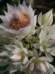 At Proteaflora, we are the leading wholesale supplier of Protea flowers and plants in Australia. We are a niche specialist nursery that supplies proteaceae plants. Protea Plant, Protea Flower, Love Garden, Dream Garden, Home And Garden, Australian Garden, Garden Quotes, Flower Art, Art Flowers