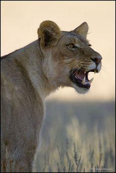 ... ruft nach Ihrem Rudel. Sie war sehr unruhig bis eine zweite Löwin von der anderen Seite der Düne kam. Danach haben sich beide Löwinnen auf dem Dünenkamm bequem gemacht um für die nächsten Tage dort zu bleiben. Kgalagadi Transfrontier Park by Heike Odermatt