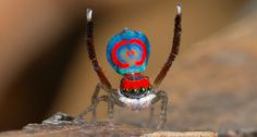 BRILLIANT BUTTSResearchers have deciphered the biophysics behind peacock spider bling. ~~ Jürgen C. Otto (Flickr; YouTube)