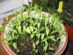 Es una planta que se utiliza mucho en la cocina para condimentar platos. Entra y te explicaré cómo se siembra el cilantro de manera sencilla.
