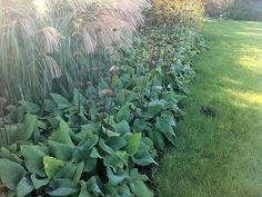 Phlomis russeliana langs de rand