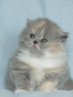 British Longhair Kitten, Cattery van Brifety, The Netherlands