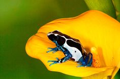 Poison Dart Frog   ;) Les Reptiles, Reptiles And Amphibians, Mammals, Happy Animals, Cute Animals, Poison Dart Frogs, Animal Photography, Travel Photography, Frog And Toad
