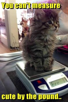 You can't measure cute by the pound. - LOLcats is the best place to find and submit funny cat memes and other silly cat materials to share with the world. We find the funny cats that make you… Cute Funny Animals, Funny Animal Pictures, Cute Baby Animals, Funny Cute, Animals And Pets, Cute Pictures, Fat Funny, Funny Images, Cute Cats And Kittens