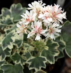 Picture of  Silver Snow, miniature stellar geranium