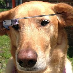 What does the new medium enhance? Funny Dogs, Cute Dogs, Funny Animals, Cute Animals, Smart Animals, Google Glass, Dog Gadgets, Dog Wear, Cute Animal Pictures
