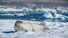 A Crabeater seal in the South Shetland Islands, a chain of Antarctic islands north of the Antarctic Peninsula. Photo: ravas51, Flickr.
