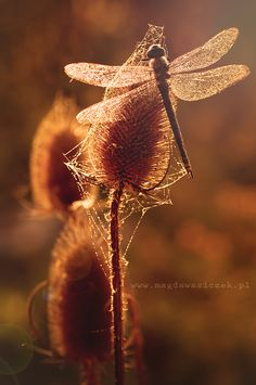 The Bijou (by Magda Wasiczek) [dragonfly] Beautiful Bugs, Rust Color, Color Yellow, Fauna, Pantone Color, Spirit Animal, Mystic, Nature Photography, Copper