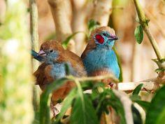 Red cheeked cordon bleu