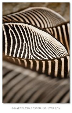 Layers by Marsel van Oosten | Via Flickr | Zebras closeup