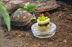 Tortellini the tortoise turns two and is treated to a specially-crafted miniature fruit and vegetable cake